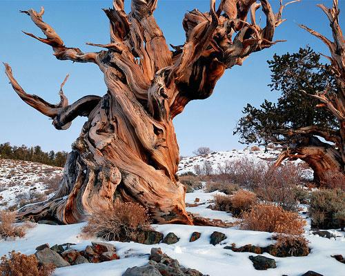 Ancient-bristlecone-pine